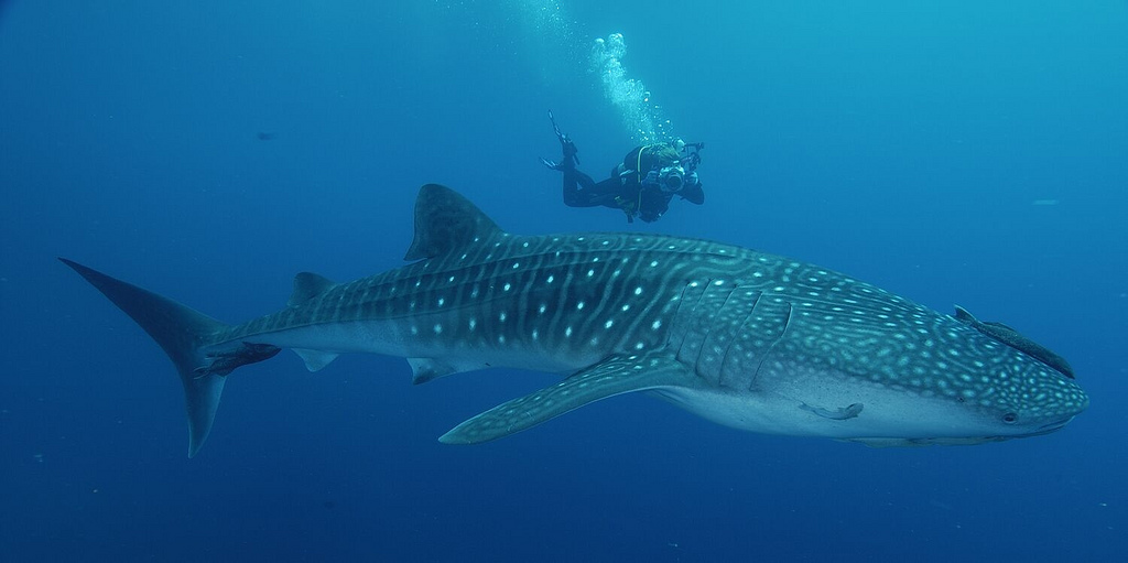 diving with a whale shark in mexico tulum